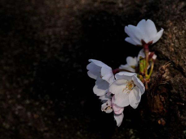 0001桜170404-12.JPG