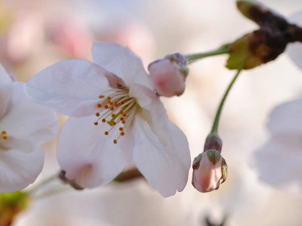 0001桜170404-2.JPG