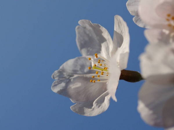 0001桜170404-3.JPG