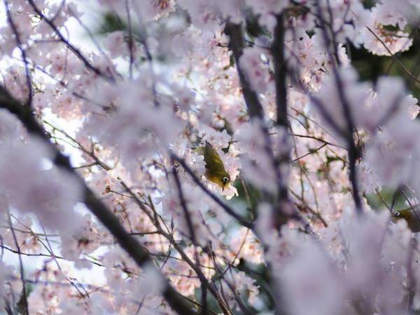 0001桜メジロ.JPG