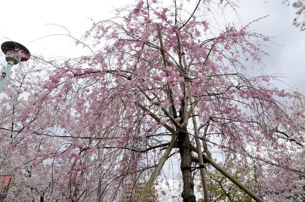 しだれ桜160403-1.JPG