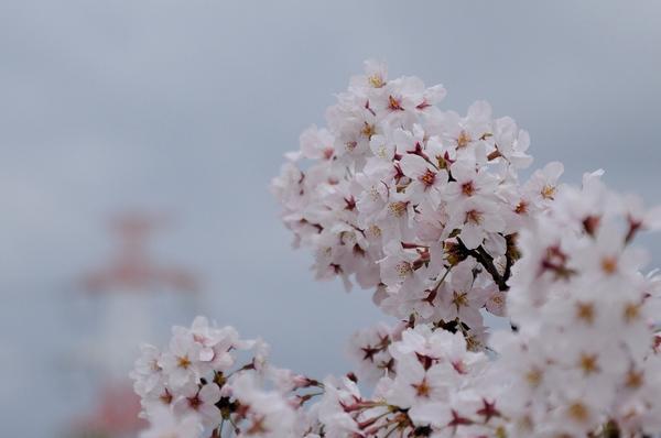 桜160403-1.JPG