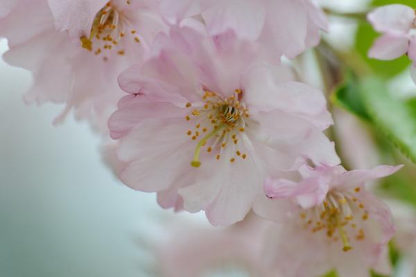 桜160403-2.JPG