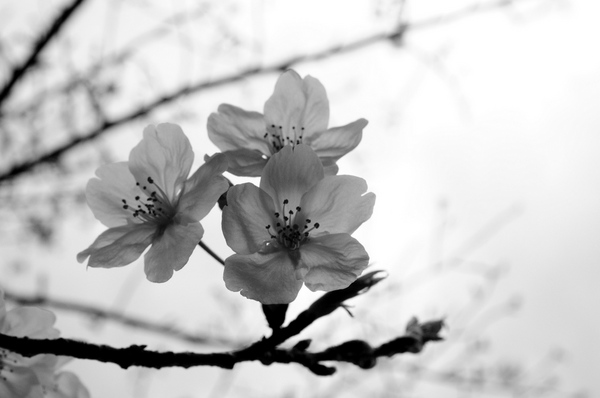 桜160403-3.JPG