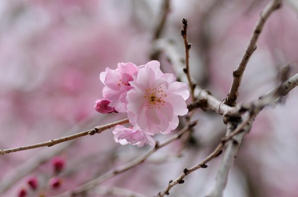 桜160403-4.JPG