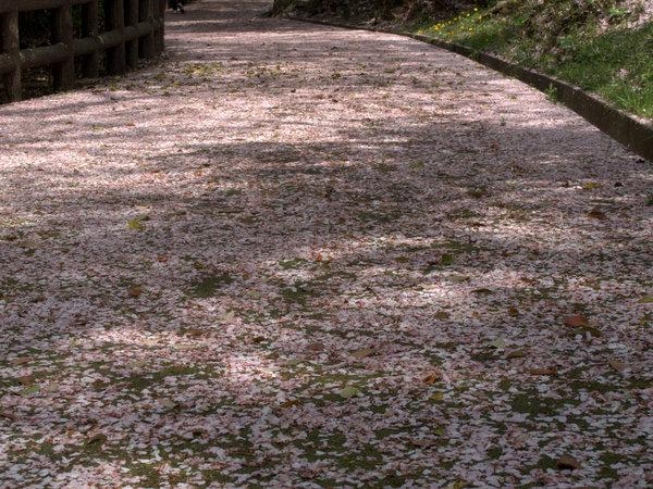 桜大山160409-2.JPG
