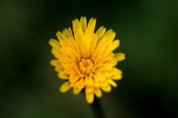 黄色い花その2.JPG